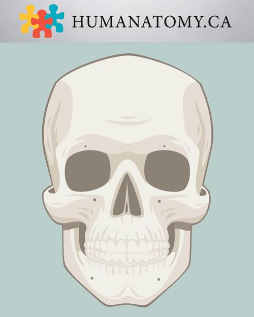 Anterior Skull