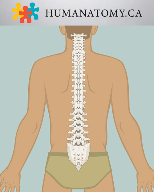 The Vertebral Column