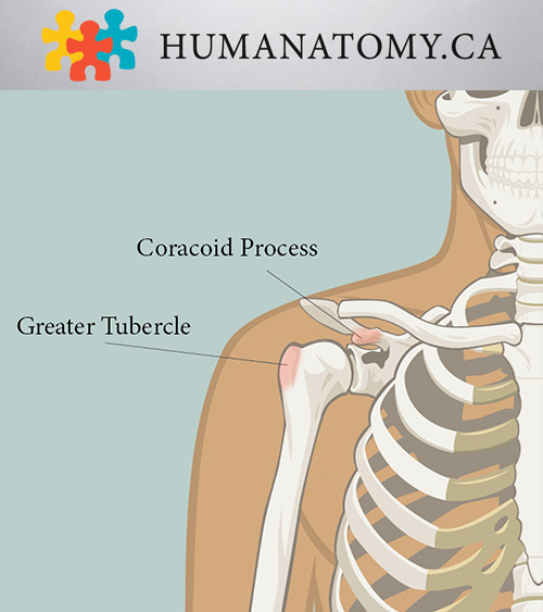 Coracoid Process and Greater Tubercle